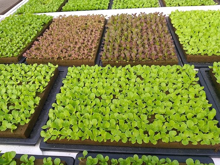 Semeadura de hortaliças em Green-up