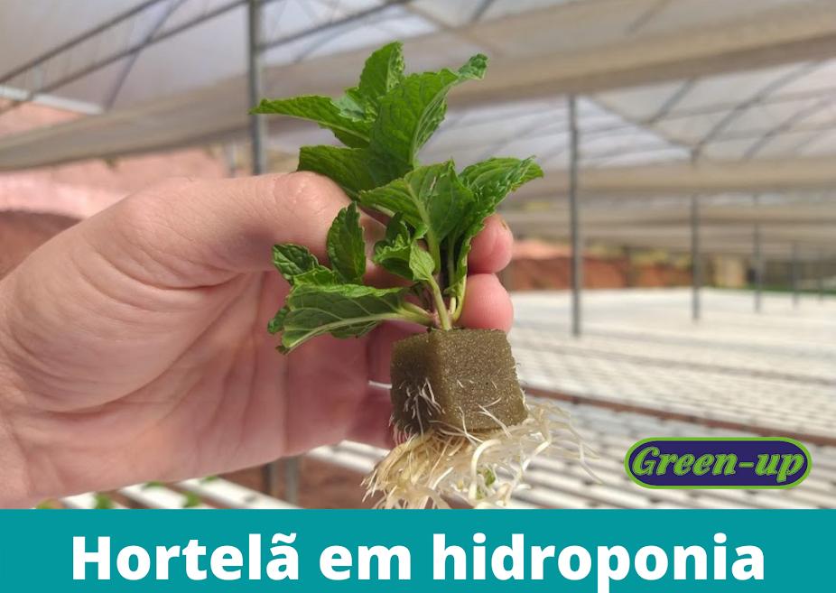 Produção de Hortelã em hidroponia
